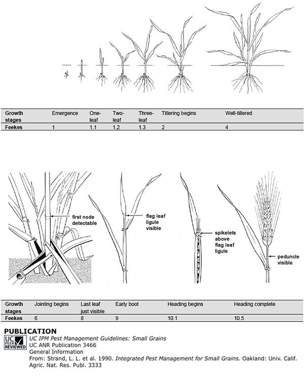 Small Grains development diagram